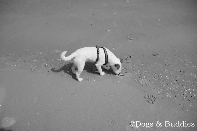 Mickey erkundet den Strand und hilft bei der Muschelsuche